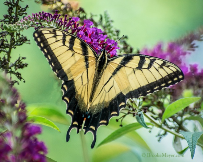 003 Swallowtails 0419